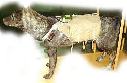 Достигалось это тоже весьма жестоким способом: собаку приучали есть под днищем танка, а в бой пускали крайне голодной.